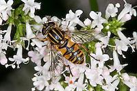 Gemeine Sonnenschwebfliege, Sonnen-Schwebfliege, Sumpfschwebfliege, Sumpf-Schwebfliege, Helophilus pendulus, Blütenbesuch, Nektarsuche