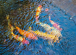 Goldfish in winter pond abstraction.