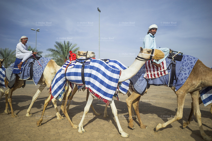 United Arab Emirates (UAE). Dubai. The Dubai Camel Racing Club is located along the Al Ain road, in Al Marmoom Dubai. Camels training with handlers riding animals. A red robot jockey wearing the number 2 is strapped to a camel (C). A robot jockey is commonly used on camels in camel racing as a replacement for human jockeys. Robotic jockeys are used and include shock absorbers and GPS tracking systems. Developed since 2004, the robotic jockeys have phased out the use of human jockeys, which in the case of camel racing did often employ small children who reportedly suffer repeated systemic human rights abuses. In response to international condemnation of such abuses, the UAE have banned the use of human jockeys in favor of robots. During the races, the camels' owners control the robots' whips from their speeding four-wheel drives at the side of the track. With its centuries-old history and culture, camel racing is an extremely well-loved and intimate part of Arab culture. The race is fought on traditional thoroughbred racing camels that are native and distinct to UAE. The United Arab Emirates (UAE) is a country in Western Asia at the northeast end of the Arabian Peninsula. 17.02.2020  © 2020 Didier Ruef