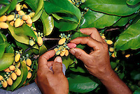 Gnetium seeds from Indonesia, grown at an Oahu fruit tree nursery