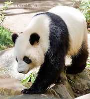 0502-1005  Male Giant Panda at San Diego Zoo, Ailuropoda melanoleuca  © David Kuhn/Dwight Kuhn Photography.