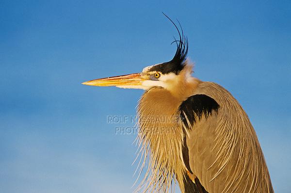 Great Blue Heron, Ardea herodias, adult, Rockport, Texas, USA
