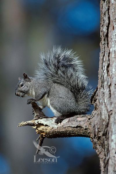 Western gray squirrel (Sciurus griseus)
