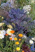 Kale 'Redbor', Leucanthemum, Calendula, Ammi, vegetables and flowers in garden combination all in one garden, pretty flowers and vegetables crops in edible landscape border variety intermixed aka Cavalo Nero kale