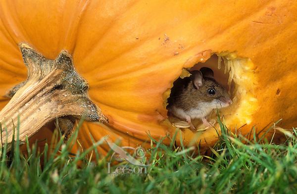 DEER MOUSE in pumpkin seeking seeds..Coastal British Columbia, Canada..(Peromyscus maniculatus).