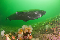 Greenland sleeper shark, Somniosus microcephalus, swims over plumose or frilled anemones, Metridium senile, and northern red anemone, Tealia felina or Urticina felina, St. Lawrence River estuary, Quebec, Canada (this shark was wild & unrestrained; it was not hooked and tail-roped as in most or all photos from the Arctic)