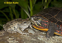 1R24-9049  Eastern Gray Treefrog - with painted turtle - Hyla chrysoscelis or Hyla versicolor,  © Brian Kuhn/Dwight Kuhn Photography