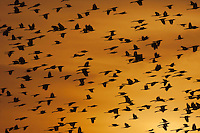 Great-tailed Grackle (Quiscalus mexicanus), flock at sunset, Welder Wildlife Refuge, Sinton, Texas, USA