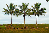 Historic Kukaniloko State Monument (Royal Birthing Stones) in Wahiawa, Oahu. Three palm trees stand guard behind the stones.