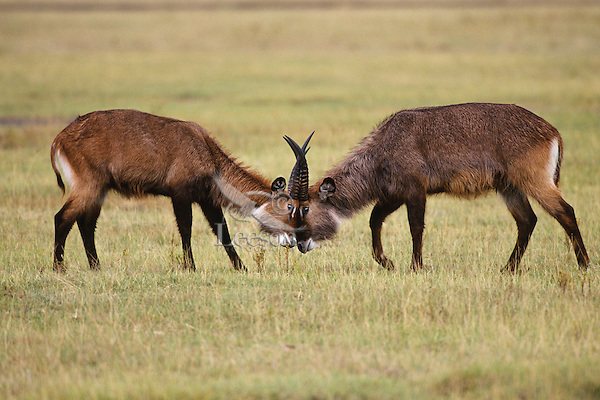 Waterbuck (Kobus ellipsiprymnus), Africa.  Males sparring--dominance behavior.