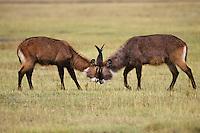 Waterbuck (Kobus ellipsiprymnus), Africa.  Males sparring--dominance behavior.