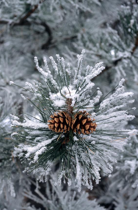 Pine cones on snow coverd pine.