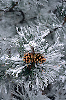 Pine cones on snow coverd pine.