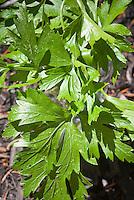 Parsley herb flatleaf Italian variety