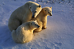 A mother polar bear sits with her cubs on a snow field.