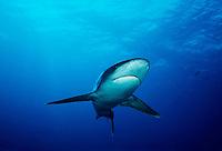 SILVERTIP SHARK Carcharhinus albimarginatus  Thailand predator dangerous menacing deadly hazardous cartilaginous horizontal underwater reef Silvertip shark Carcharhinus albimarginatus  Burma Banks Myanmar underwater sharks marine