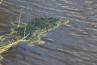 Schraubenalge, Grünalge, Schraubenalgen, Grünalgen, Fadenalge, Fadenalgen, Algenwatte, Algenmatte, Algenmatten, Algenteppich auf einem Teich, Süßwasseralge, Spirogyra spec., Chlorophyceae, green alga, green algae