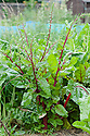 Swiss chard that has bolted (i.e., flowering and setting seed), early August.