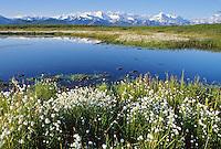 Alaska cotton, small tundra pond, Alaska mountain range, Denali National Park, Alaska