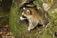MA21-054x  Raccoon - young animal exploring - Procyon lotor