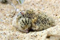 Little Tern Chicks on the New South Wales South Coast and Coastal Island bird surveys