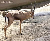 0527-1101  Cuvier's Gazelle (Edmi), Gazella cuvieri  © David Kuhn/Dwight Kuhn Photography