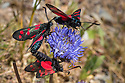 Six-spot Burnets {Zygaena filipendulae} including mating pair feeding on Sheep's-bit {Jasione montana}, Devon, UK. June.
