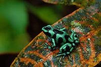 Green & Black Poison Arrow Frog (Dendrobates auratus)