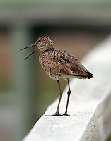 Willet in breeding plumage calling because we were too close to its nest, though we never saw it.