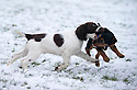 21/01/15<br /> <br /> Twelve-week-old, springer spaniel, Chester plays in snow for the first time in Ashbourne, Derbyshire. Here he meets fellow puppy, Nigel.<br /> <br /> All Rights Reserved - F Stop Press.  www.fstoppress.com. Tel: +44 (0)1335 300098