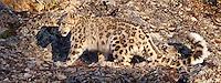 Snow Leopard walking across a rocky ledge - CA