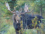 Northern moose bull during mating season in early October, Maine.  Frame grab from video