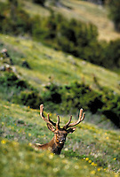 Bull elk lying down. Colorado USA Trail Ridge, Rocky Mountain National Park.