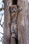 Daraina Sportive Lemur (Lepilemur milanoii). Daraina forest, northern Madagascar.