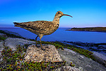 Before being hunted to extinction the Eskimo Curlew migrated in the millions from arctic breeding grounds to the pampas of Argentina. In fall, birds staged on the heathlands of Labrador and the maritimes to gorge on berries before making a trans Atlantic flight to South America. At one time, the Eskimo curlew may have been one of the most numerous shorebirds in North America, with a population in the millions. As many as 2 million birds per year were killed near the end of the nineteenth century.