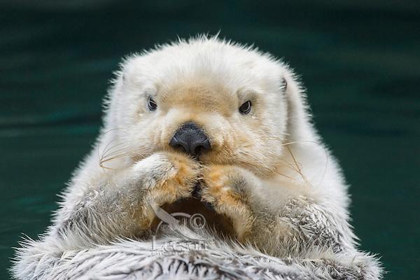 Sea Otter (Enhydra lutris) resting.