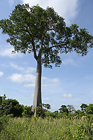 IVORY COAST, Yamoussoukro, deforestation for new plantations like cocoa, oil palms, rubber farms, timber trade, the last tree a Fromager tree or cotton tree / ELFENBEINKUESTE, Yamoussoukro, Abholzung für Plantagen und Holzhandel, der letzte Kapok Baum