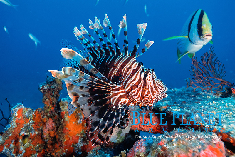 common lionfish over reef, Pterois volitans, non-native species, Florida, Atlantic Ocean