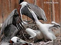 0305-0859  Brown Pelican Feeding Young, Pelecanus occidentalis © David Kuhn/Dwight Kuhn Photography.