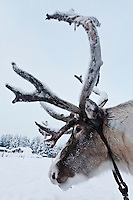 Europe/Finlande/Laponie/Levi: A la ferme de rennes: Sammuntupa