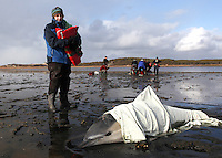 International Fund for Animal Welfare (IFAW) volunteer, Patty Walsh, monitors the breathing of a stranded common dolphin while behind her a team prepares to move another dolphin to a waiting vehicle at Herring River in Wellfleet, MA.