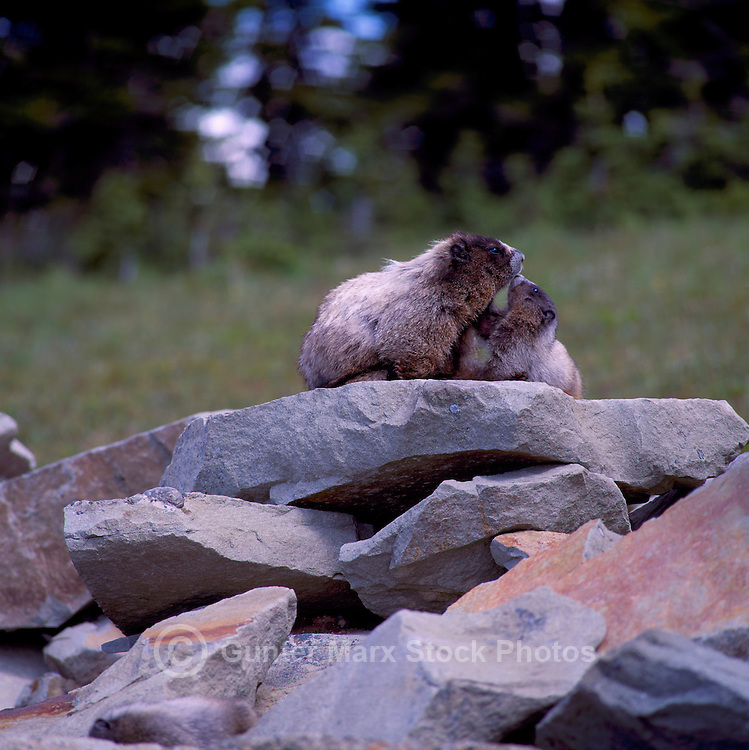 Hoary Marmot (Marmota caligata) Female with Young, basking on Rock in Sun, BC, British Columbia, Canada, Summer - North American Wildlife