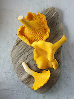 Fresh picked wild  organic chanterelle or girolle Mushrooms (Cantharellus cibarius)