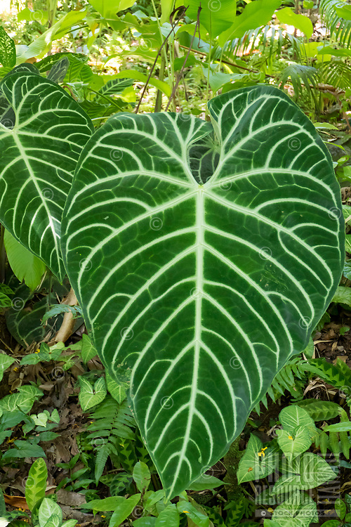 Beautiful large green and white leaves at Hawaii Tropical Botanical Garden near Onomea Bay in Papa'ikou near Hilo, Big Island of Hawai'i.