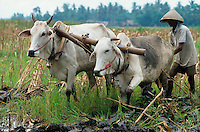 INDONESIA Java, farmer plough paddy field with ox / INDONESIEN Java, Bauer pfluegt Reisfeld mit Ochsen