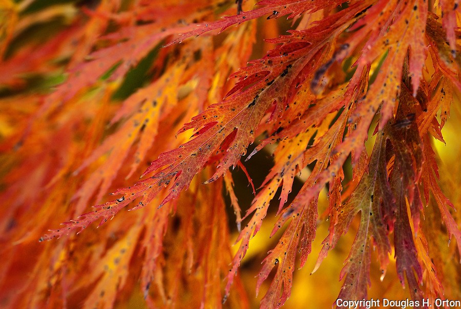 Lacey maple leaves burst with color in fall at the Portland, Oregon, Japanese Garden.  The Japanese Garden in Portland is a 5.5 acre respit.  Said to be one of the most authentic Japanese Garden's outside of Japan, the rolling terrain and water features symbolize both peace and strength.