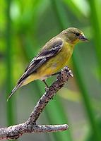 Adult female lesser goldfinch