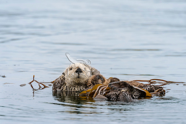 Southern Sea Otters (Enhydra lutris nereis)--mom with pup-- resting in kelp.  Central California Coast.  Being wrapped in kelp helps keep the otter from drifting away with the tide/current/wind while resting.