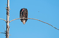 Turkey vulture, Cathartes aura. Mendocino County, California