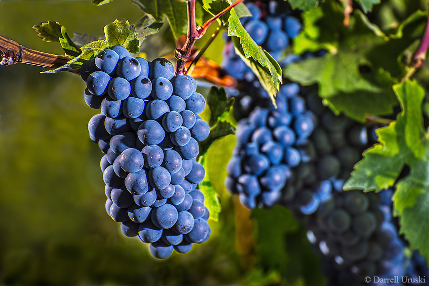 Blue Grapes on a vine that were photographed in Naramata that is located in the beautiful Okanagan valley of British Columbia in Western Canada.
